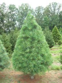 Eastern White Pine Christmas Tree