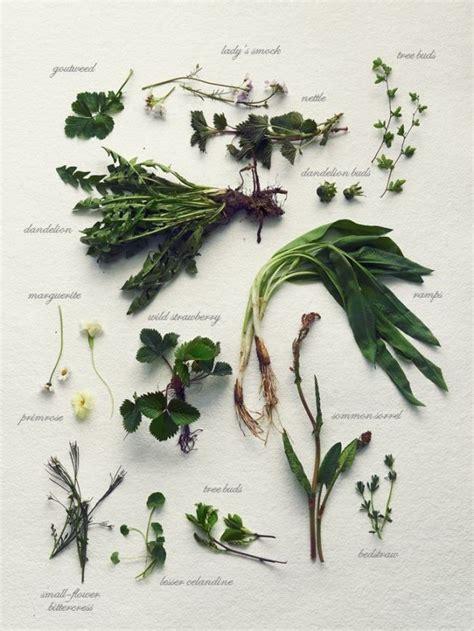cuisine plantes sauvages comestibles les 53 meilleures images du tableau herbes sauvages sur