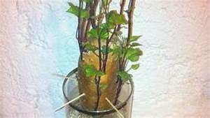 Culture De La Patate Douce : comment faire pousser des patates douces dans de l eau ~ Carolinahurricanesstore.com Idées de Décoration