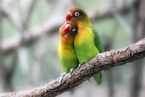 Lovebird Free Hd Wallpapers Images Backgrounds