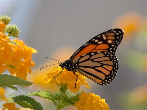 monarch butterfly  yellow lanthana desktop wallpaper