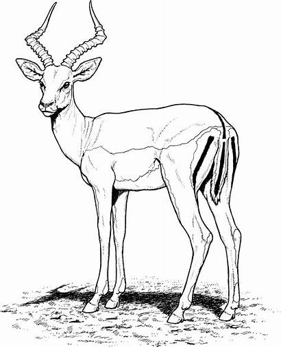 Coloring Pages Antelope Gazelle Impala Drawing African