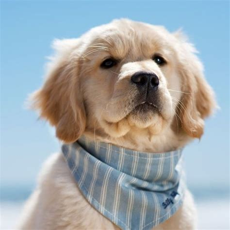 Timmy Bandana Pets To Find Out And Puppys