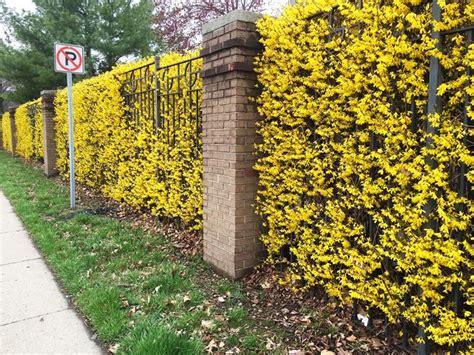 Lo spazio outdoor, sia un giardino, che un terrazzo o un piccolo. Siepi con fiori - Siepi - Siepi con fiori caratteristiche