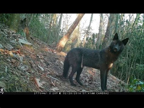 nc wildlife rare black coyote   trail cam