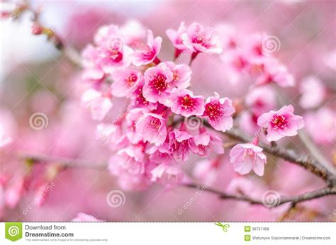 Wallpaper Bunga Sakura Pink Wallpaperscraft