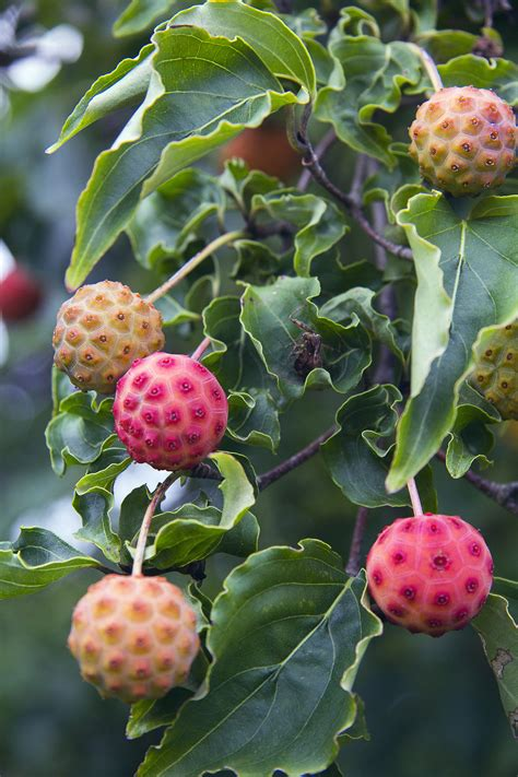 berries tree dogwood trees history facts and growing tips fast growing trees com