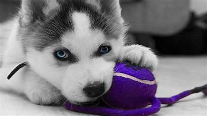 Husky Siberian Wallpapers Huskies Puppy Puppies Wednesday