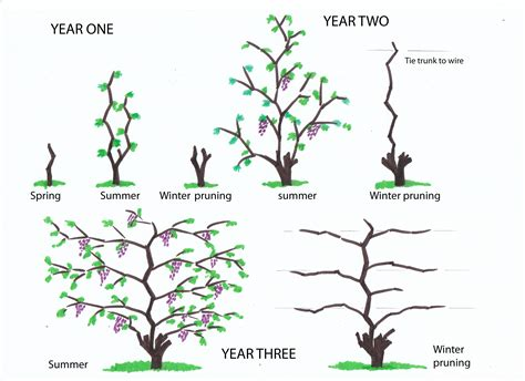 how to prune concord grapes winter pruning of vines from infancy to the fourth year urban wine grower