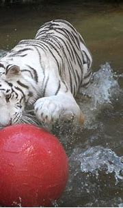 White tiger playing. | Zoo pictures, Zoo animals, Zoo