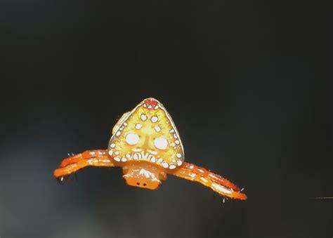triangular spider arkys lancearius