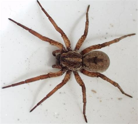 what does a wolf spider look like wolf spider bite pictures symptoms how it looks like side effects treatment