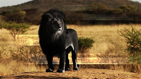black-african-lion-hd-free-wallpapers-for-desktop - HD