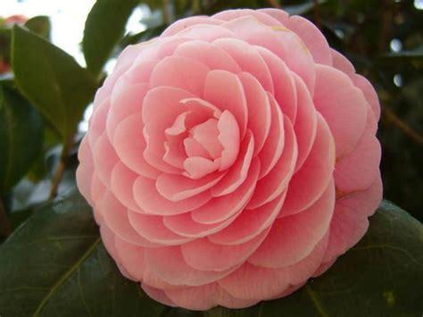 japanese names flower camellia japonica japanese camellia world of flowering plants