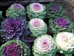 Black Gold Flowering Kale: Beautiful Edible Color - Black Gold