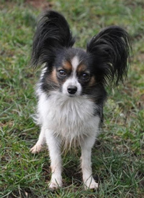 Dogs That Dont Shed Papillon by Road S End Papillons Papillon Hair Loss Vs Hair Shedding
