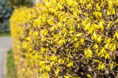Schnell Wachsende Blühende Sträucher Als Sichtschutz by Schnellwachsende Str 228 Ucher Und Hecken Als Sichtschutz
