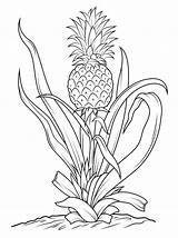 Pineapple Coloring Pages Tree Drawing Printable Fruits Vegetables Pineapples Sheets Easy Line Plant Adult Outline Drawings Flower Embroidery Flowers Sketch sketch template