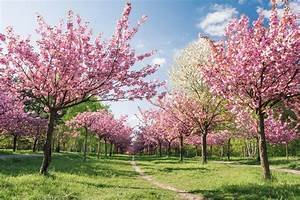 Cherry Blossom Fest Tickets By Yo Buddyz  Saturday  April