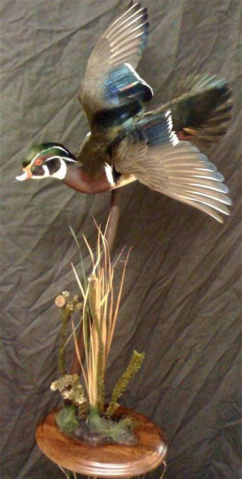 Nice Wood Duck Mount