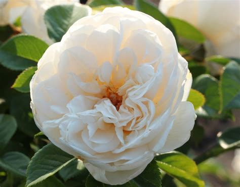 summer memories rose white shrub rose