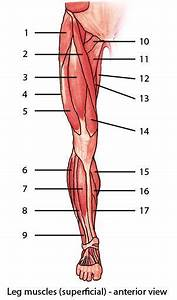Muscle Strengthening  Muscle Labeling Exercise
