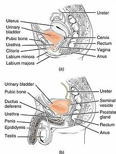 Difference Between Male And Female Urethra Anatomy