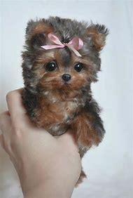 Cute Puppy Yorkie Golden Retriever