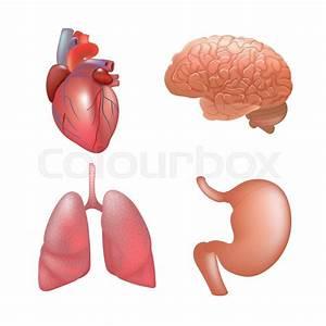Realistic Human Organs Set  Set Of Human Anatomy Parts