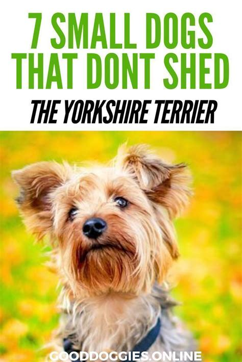 Pictures Of Small Dogs That Don T Shed by Best 25 Breeds That Dont Shed Ideas On