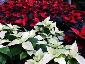 Weihnachtsstern Pflanze Kaufen : weihnachtsstern blume die weihnachtsstern blume ~ Michelbontemps.com Haus und Dekorationen
