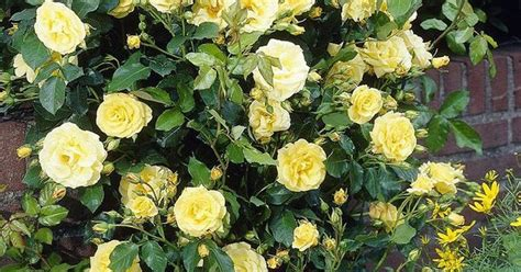 Cottage Farms Direct Royal Gold Climbing Rose Low