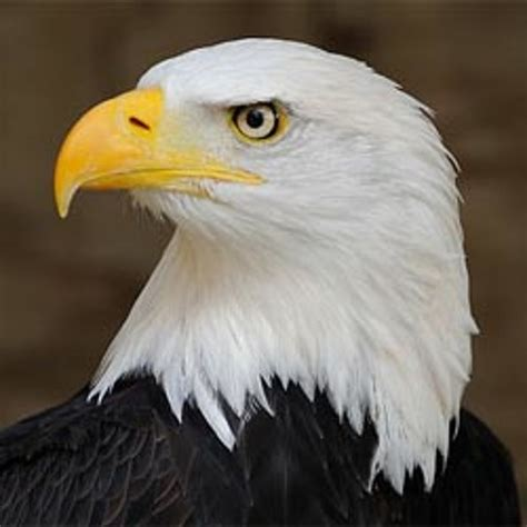 or is this the cry of a bald eagle by