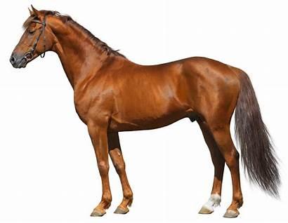 Paard Don Paarden Paardenrassen Russisch Shutterstock