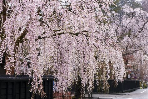 weeping trees weeping cherry trees top 10 list of cascading faves