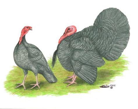 murray mcmurray hatchery blue slate turkey