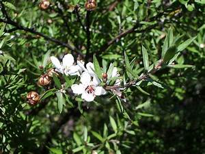 Leptospermum scoparium - Wikipedia