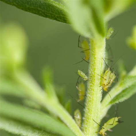 rid  aphids planet natural