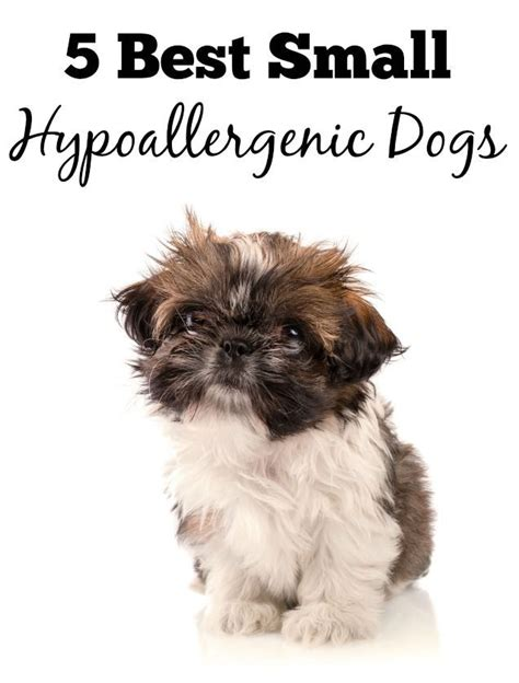 small non shedding dogs for families best 25 small hypoallergenic dogs ideas on