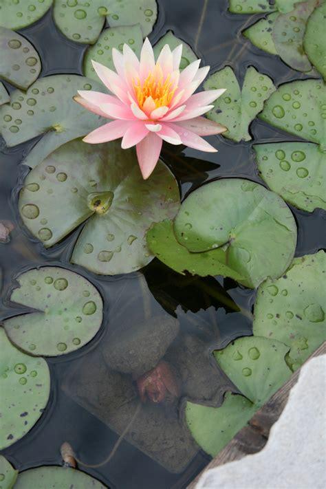 Teichpflanzen Fuer Verschiedene Wasserzonen by Wasserpflanzen Gartenteich Teichpflanzen Wasserpflanzen