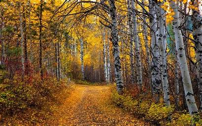 Aspen Trees Forest Leaves Tree Nature Wallpapers