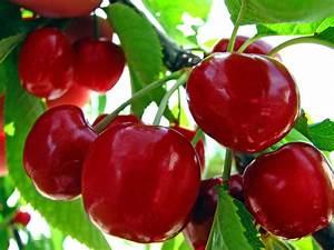 Young Urban Farmers Tip  216  Bing Cherries