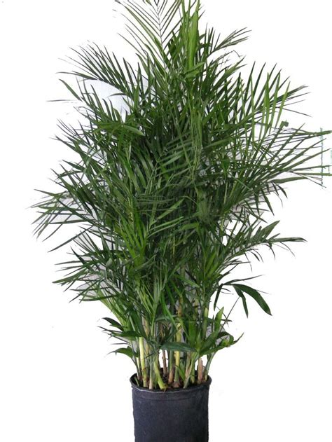rabbit air purifier biogs 1000 ideas about bamboo palm on humidifier