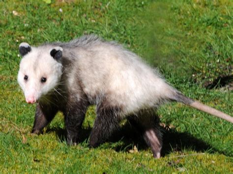 Possum Images Opossum Removal In Los Angeles Ca Animal Capture