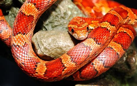 Corn Snakes Wallpapers - Wallpaper Cave