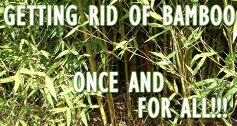how do you get rid of bamboo randy lemmon