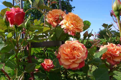la collection globe planter rosier super conquerant kordes rose aloha