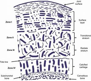 Schematic Diagram Of Articular Cartilage Showing Its Di
