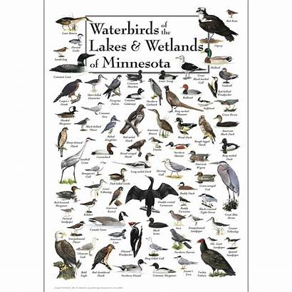 Minnesota Lakes Waterbirds Poster Wetlands Midwest Posters