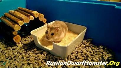 Hamster Dwarf Bath Hamsters Russian Sand Care